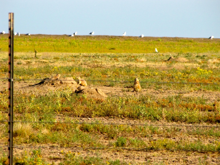 Prairie Dog Warning Calls