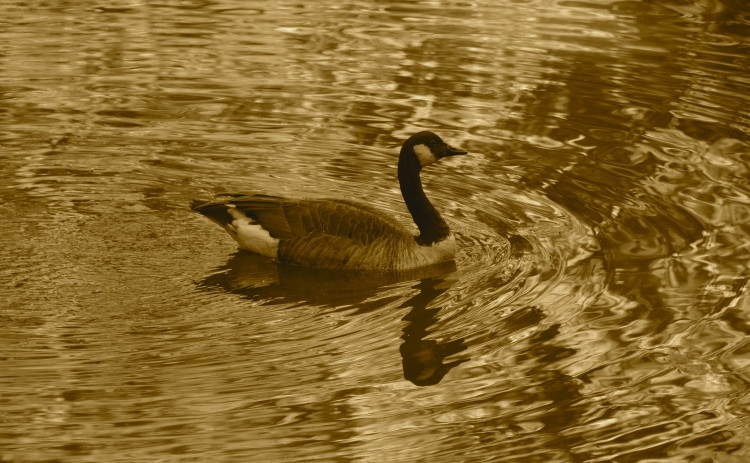 A goose and his reflection in Sepia